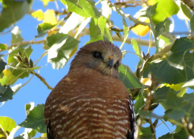 Featuring: Red-shouldered Hawk